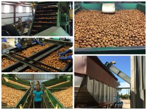 walnut hulling